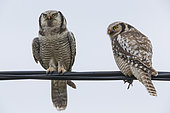 Northern Hawk-Owl (Surnia ulula), couple perched on a wire with a caught vole, Finnmark, Norway