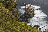 Fou de Bassan (Morus bassanus), colonie sur l'îlot Stóri Karl, Islande