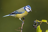 Blue Tit (Cyanistes caeruleus), adult perched on a branch and Common Ivy berries on its side, Campania, Italy