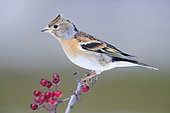 Brambling (Fringilla montifringilla), adult female in winter plumage perched on a Hawthorn branch, Campania, Italy