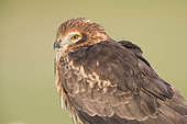 Montagu's Harrier (Circus pygargus), adult female close-up, Campania, Italy