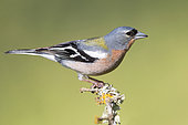 Common Chaffinch (Fringilla coelebs africana), side view of an adult male standing on a branch, Rabat-Salé-Kenitra, Morocco