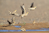 Spotted Sandgrouse (Pterocles senegallus), smal flock at take-off from a drinking pool, Draâ-Tafilalet, Morocco