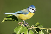 Blue Tit (Cyanistes caeruleus), side view of an adult male perched on a Common Ivy branch, Campania, Italy