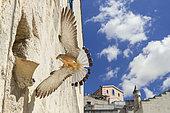 Lesser Kestrel (Falco naumanni), adult male arriving at nest in Matera, Basilicata, Italy