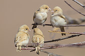 Desert Sparrow (Passer simplex saharae), four chicks perched on some branches, Morocco