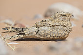 Egyptian Nightjar (Caprimulgus aegyptius saharae), adult resting on the ground, Draâ-Tafilalet, Morocco