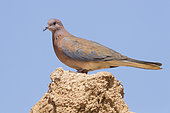 Laughing Dove (Spilopelia senegalensis phoenicophila), side view of an adult standing on a wall, Draâ-Tafilalet, Morocco