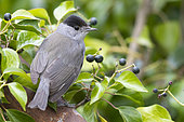 Eurasian Blackcap (Sylvia atricapilla), adult male perched among berries of European Ivy
