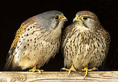 Kestrel (Falco tinnunculus) male and female perched next to eatch other, England