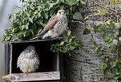 Kestrel (Falco tinnunculus) perched near the nestbox, England