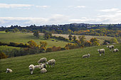 Herd of sheep against the light on a beautiful autumn afternoon in the bocage bourbonnais in Auvergne, France