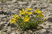 Yellow flax (Linum campanulatum) growing in pebbles along a river in spring, Drôme, France