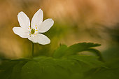 Wood Anemone (Anemone nemorosa) at the end of winter at the edge of a stream in the forest of Tronçais, France
