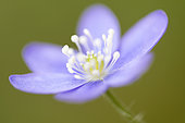 Hepatica (Hepatica nobilis) flower along a path of leafy trees in the mountains, Drôme, France