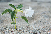 Wild Jimsonweed (Datura stramanium) on the banks of the river Allier at the end of summer, Auvergne, France