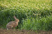 European Hare (Lepus europaeus) a spring evening at the edge of a cereal field, Normandy, France
