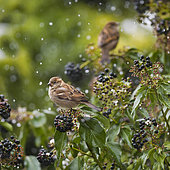 Couple of House Sparrows (Passer domesticus) on ivy in winter, Auvergne, France