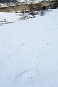 Footprints of wolf legs in the snow in winter, Massif du Vercors, Drôme, France