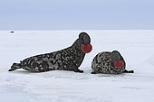 Hooded Seal (Cystophora cristata), fighting males. Canada