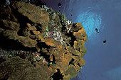 Tombant avec Dactylospongia metachromia, Rangiroa, Polynésie française