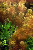 Red Watermilfoil (Myriophyllum tuberculatum) in aquarium