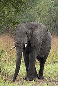 African elephant (Loxodonta africana) male, Gorongosa National Park, Mozambique.