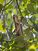 Grasshopper (Cyrtacanthacris tatarica), Dovela, Inharrime, Mozambique.