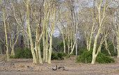 Acacia (Vachellia xanthophloea), parc national de Gorongosa, Mozambique.