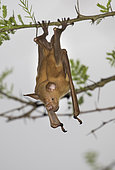 Striped leaf-nosed bat (Hipposideros vittatus) Gorongosa National Park, Mozambique.
