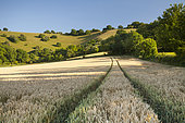 Field of wheat, South Downs National Park, Plumpton, West Sussex. July