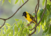 Southern Masked Weaver (Ploceus velatus) male on a branch, Gorongosa National Park, Mozambique.