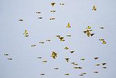 Southern Masked Weaver (Ploceus velatus) flock in flight, Gorongosa National Park, Mozambique.