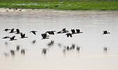 White-faced Whistling Duck (Dendrocygna viduata) flock in flight, Lake Urema, Gorongosa National Park, Mozambique.