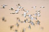 CATTLE EGRET (Bubulcus ibis) flock in flight at sunset, Lake Urema, Gorongosa National Park, Mozambique.