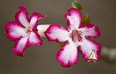 Desert rose (Adenium obesum) with moth, Gorongosa National Park, Mozambique.