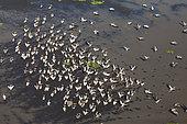 Great white pelican (Pelecanus onocrotalus) group, Lake Urema, Gorongosa National Park, Mozambique