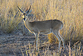 Southern or Common Reedbuck (Redunca arundinum), Gorongosa National Park, Mozambique