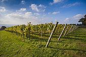 Upperton Vineyard, Tillington, Petworth, South Downs National Park, West Sussex, UK. October