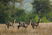 Waterbuck (Kobus ellipsiprymnus) group running, Gorongosa National Park, Mozambique.