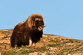 Male and lone muskox (Ovibos moschatus) on one of the archipelago islands at the bottom of Scoresby Sund, Greenland