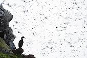 Cormoran huppé (Phalacrocorax aristotelis) sur le rivage, péninsule du Varanger, Norvège