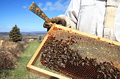 Honey bees on a hive frame