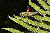 Locust with black eyes with white dots (Euthymia fasciata), Andasibe, Périnet, Région Alaotra-Mangoro, Madagascar