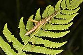 Grasshopper (Pyrgomorphidae), Andasibe, Périnet, Région Alaotra-Mangoro, Madagascar