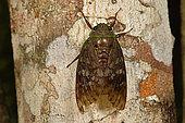 Cicada (Cicadidae) on a tree trunk, Andasibe, Périnet, Région Alaotra-Mangoro, Madagascar