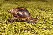 East African Land Snail (Lissachatina fulica), Andasibe, Périnet, Région Alaotra-Mangoro, Madagascar