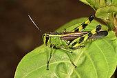 Forest Grasshopper (Heteracris sp) on a leaf, Andasibe, Périnet, Région Alaotra-Mangoro, Madagascar