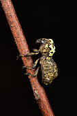 Weevil (Lithinus sp), Andasibe, Périnet, Région Alaotra-Mangoro, Madagascar