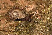 Land snail (Ampelita caperoni) Juvenile snail in forest on a rock, Andasibe, Périnet, Région Alaotra-Mangoro, Madagascar